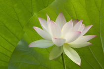White lotus in fron tof lotus leaves by Danita Delimont