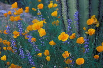 Arroyo Lupine and Saguaro cactus by Danita Delimont