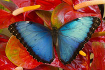 Sammamish Washington Tropical Butterfly photograh of Morpho peleides the Common Morpho von Danita Delimont