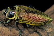 Buprestid beetle (Family Buprestidae) by Danita Delimont