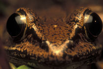 Close-up of White-lipped Frog (Leptodactylus labialis) in rainforest near San Juan River by Danita Delimont