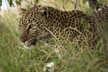 African Leopard (Panthera pardus) stalking prey by Danita Delimont