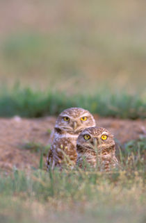 Burrowing Owls by Danita Delimont