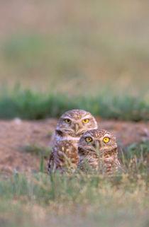 Burrowing Owls von Danita Delimont