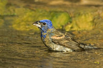 Male blue grosbeak bathing von Danita Delimont