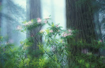 Rhododendrons and redwoods by Danita Delimont