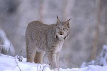 Lynx (Felis lynx) von Danita Delimont