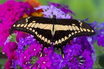 Washington Tropical Butterfly Photograph of Neotropical butterfly Papilio Thoas the Thoas Swallowtail by Danita Delimont