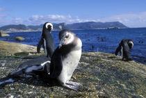 Jackass Penguin along rocky coastline (Spheniscus demersus) von Danita Delimont