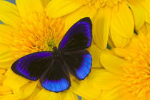 Eunica alcmena flora the Midnight Blue Butterfly from Peru by Danita Delimont