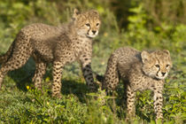Cheetah cubs at Ndutu in the Ngorongoro Conservation Area by Danita Delimont