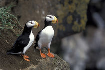 Horned puffins (Fratercula corniculata) on a cliff ledge by Danita Delimont
