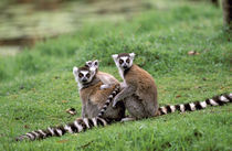 Ring-tailed lemur and young (Lemur catta) von Danita Delimont