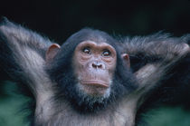 Young female Chimpanzee stretching von Danita Delimont