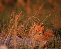 Alaska Red Fox - Vulpes vulpes von Danita Delimont