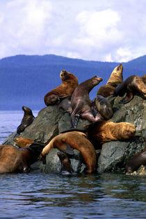 Stellar sea lions Alaska; USA von Danita Delimont