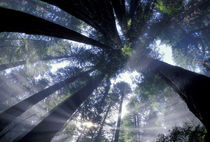 Looking up into fog and redwoods by Danita Delimont