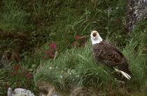 Unalaska Island Bald eagle (Haliaeetus leucocephalus) by Danita Delimont