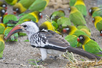 Red-billed Hornbill and Yellow-collared Lovebirds at Tarangire NP by Danita Delimont