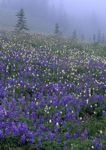 Lupine and Bistort meadow in fog by Danita Delimont
