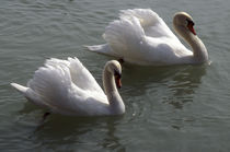 Swans by Danita Delimont