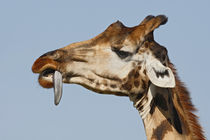Rothschild's giraffe trying to remove thorn from tongue von Danita Delimont