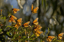 Monarch butterflies warm themselves before clustering for the night by Danita Delimont