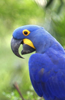 The endangered Hyacinth Macaw at home in the Pantanal von Danita Delimont