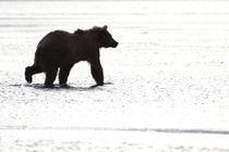 Girzzly bear silhouette while walking in water by Danita Delimont