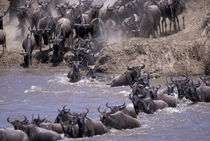 Wildebeest in migration by Danita Delimont