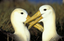 Waved Albatross pair by Danita Delimont