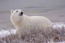 Polar Bear (Ursus maritimus) in Churchill Manitoba Canada by Danita Delimont