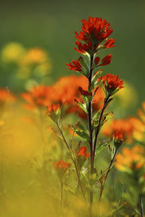 Close-up of Red Indian paintbrush flower in springtime by Danita Delimont