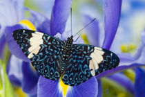 Sammamish Washington Tropical Butterflies photograph Hamadryas arinome the Starry Night Butterfly and Dutch Iris von Danita Delimont