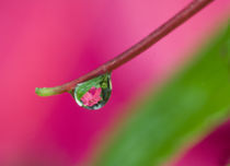 Reflecting flower in drop von Danita Delimont