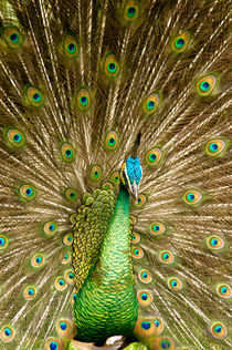 Peacock displaying feathers by Danita Delimont