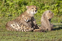 Cheetah mother and cubs playing at Ndutu in the Ngorongoro Conservation Area von Danita Delimont