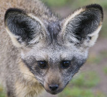 Bat-Eared Fox at Ndutu in the Ngorongoro Conservation Area by Danita Delimont