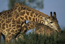Giraffes (Giraffa camelopardalis) feeding at sunset by Danita Delimont