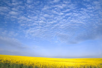 Field of Canola Crop von Danita Delimont