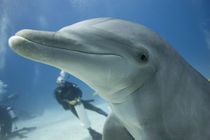Scuba diver swimming with captive Bottlenose Dolphin (Tursiops truncatus) at UNEXSO dive site von Danita Delimont
