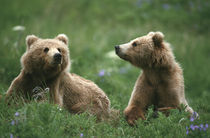 Kodiak Two sub-adult brown bears in grass and purple flowers von Danita Delimont