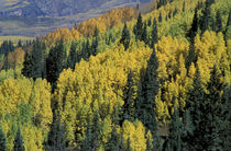 Yellow aspen and green pine mix in fall by Danita Delimont
