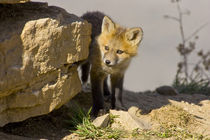 Curious young red fox by Danita Delimont
