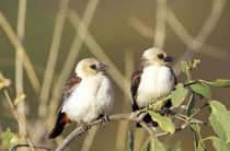 Pair of White-headed Buffalo Weavers (Dineiimellia dinemeli) by Danita Delimont