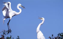 Two Great Egrets (Ardea alba) in a courtship ritual in which one partner passes a stick to the other by Danita Delimont