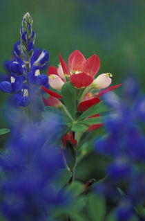 Paintbrush and Bluebonnets by Danita Delimont