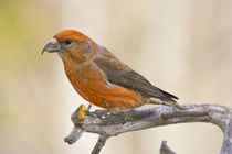 Portrait of male red crossbill perched on limb von Danita Delimont