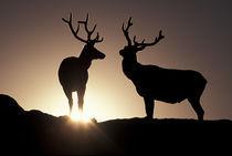 Elk by Danita Delimont