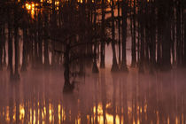 Cypress trees with fog at sunrise by Danita Delimont